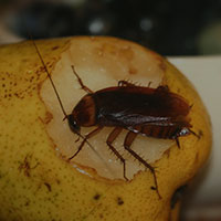 Cockroach Control - Phoenix, AZ - Croach Pest Control