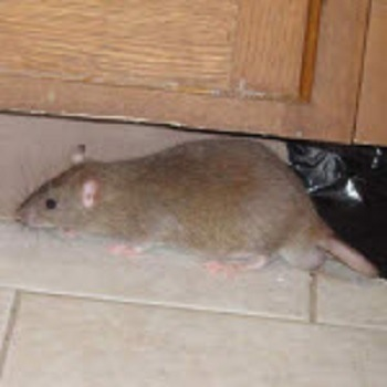 Rodent Control - Seattle, WA - Croach Rats and Mice Extermination Services