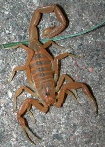 Arizona Bark Scorpion - Phoenix AZ - Croach Pest Control