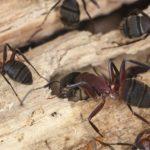 Ants in Phoenix AZ - Croach Pest Control