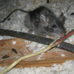 Rodent Control - Rat Chewing on Electrical Wire - Seattle, WA - Croach
