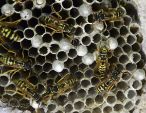 Bee Removal, Bee Control - Wasp Nest in Phoenix, AZ - Croach Pest Control