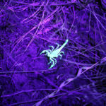 Scorpion Blacklight Pest Control