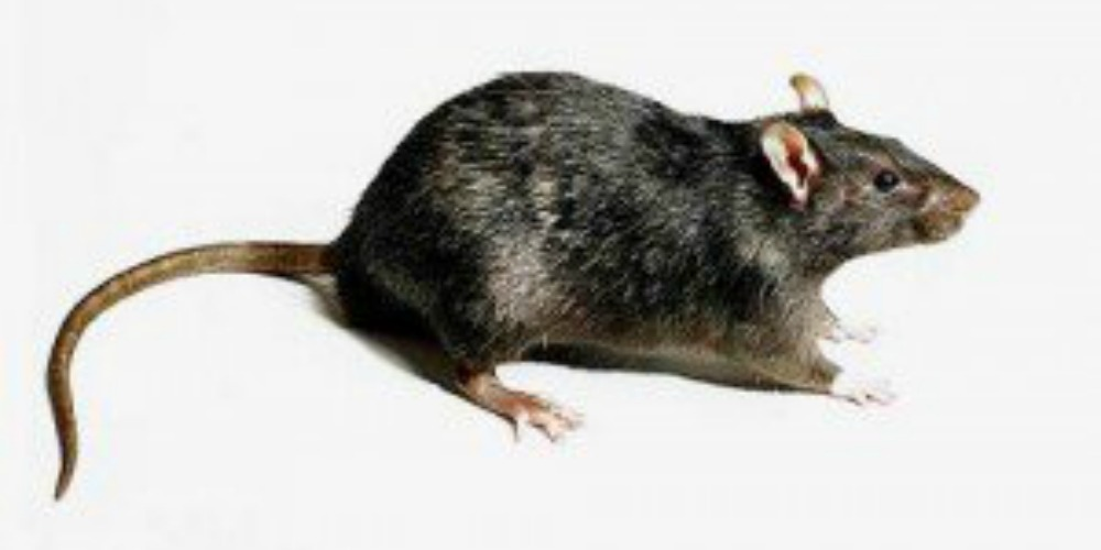 Rodent Control - Croach - Kirkland, WA - Rats in the house - brown gray rat
