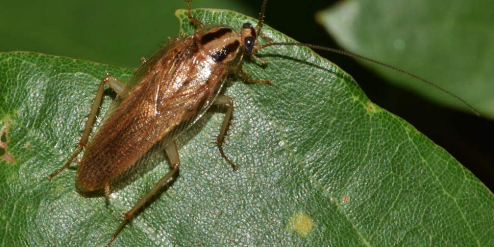 Pest Control - Croach - Kirkland, WA - Spring Time Pests - Cockroach on green leaf