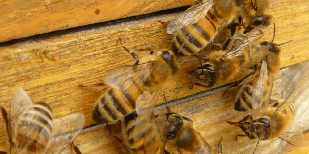 Bee Control - Croach - Seattle, WA - Bees on wooden box