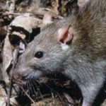 Roof Rats in Glendale, AZ - Croach Pest Control
