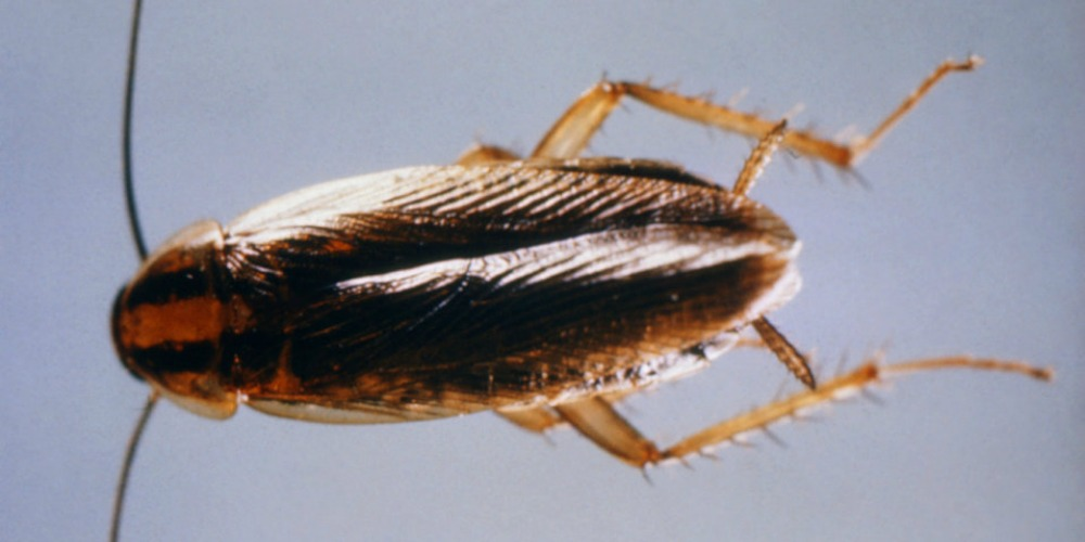 Cockroach Infestation Pest Control - Croach - Kirkland, WA - Closeup of Cockroach