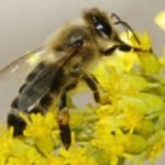 Africanized Honey Bee - Phoenix, AZ - Croach Pest Control
