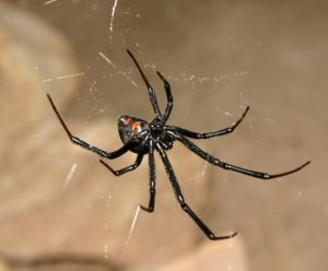 Black Widow Spider Control - Phoenix AZ - Croach Pest Control