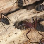 Ants in Phoenix AZ - Croach Pest Control