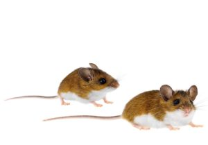 Mice and Cockroaches - Most Common Household Pests