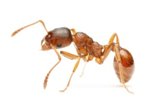 Home Pest Control Seattle WA Ant