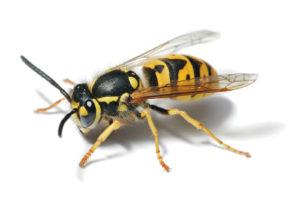 Pest Control Contractors Phoenix AZ Croach Wasp