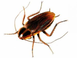 Pest Removal Kirkland WA Croach Cockroach Phobias