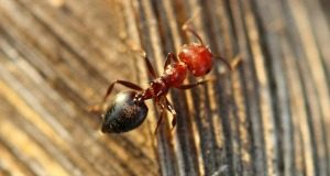 Ant Control - Croach - Kirkland, WA - Types of Ants - Allegheny Mound Ant