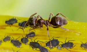 Ant Control - Croach - Seattle, WA - Types of Ants - Big Headed Ant