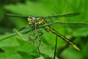 Pest Control - Croach - Kirkland, WA - Beneficial Bugs - Dragonfly on Stem