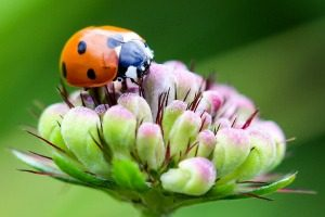 Pest Control - Croach - Seattle, WA - Beneficial Bugs - Ladybug on Flower