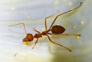 Pest Control - Croach - Seattle, WA - Types of Ants - Harvester Ant