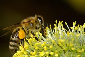 Pest Control Service - Croach - Kirkland, WA - Beneficial Bugs - Honey Bee on Yellow Flower