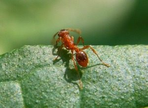 Pest Management - Croach - Seattle, WA - Types of Ants - Fire Ant