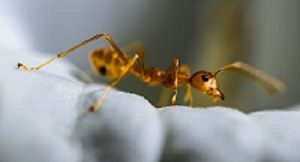 Ant Control - Croach - Kirkland, WA - Types of Ants - Yellow Moisture Ant