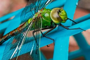 Croach - Kirkland, WA - Dragonfly Insect Green Closeup