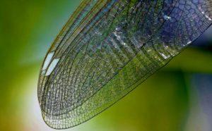 Dragonfly Wing Closeup - Croach - Kirkland, WA