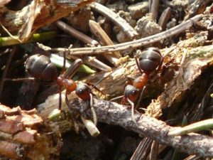 Ant Control - Croach - Portland, OR - Ants in Oregon on wood