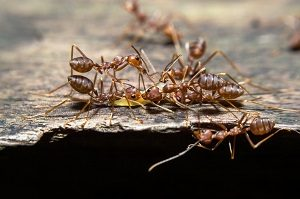 Ant Control - Croach - Kirkland, WA - Odorous House Ants in Washington