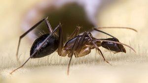 Carpenter Ant Control - Croach - Kirkland, WA - Closeup of Ant