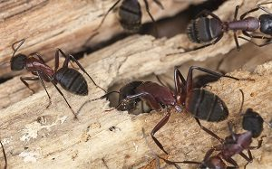 Carpenter Ant Control - Seattle, WA - Croach - Closeup of carpenter ants in Seattle
