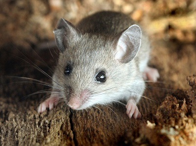 Deer Mice Control - Croach Rodent Control