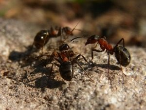 Types of Ants - Ant Control - Croach - Bellevue, WA - Formica Ants in Washington on Rock