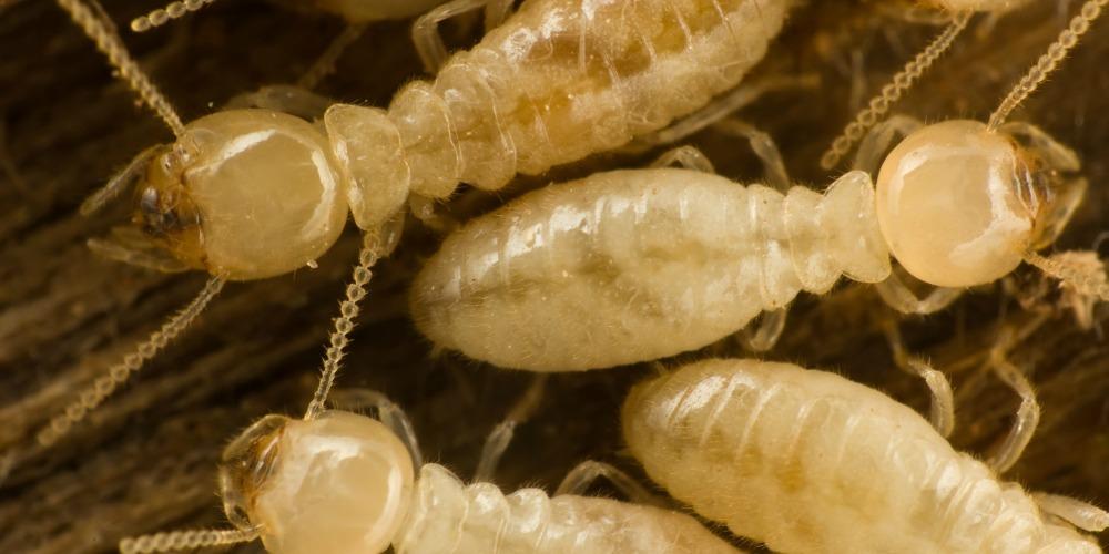 Termite Pest Control Treatment - Croach - Kirkland, WA - Termites on wood