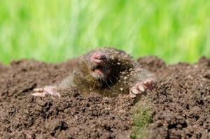 Seattle Moles - Yard Mole Removal - Croach