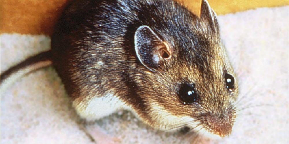 Rodent Control - Croach - Kirkland, WA - Brown Deer Mouse