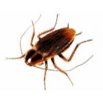 Pest Control - Croach - Seattle, WA - Cockroach