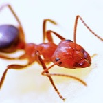 Pest Control - Croach - Seattle, WA - Fire Ant